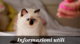 Informazione sul gatto Ragdoll