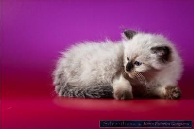 Ragdoll, una razza di gatti da amare e coccolare