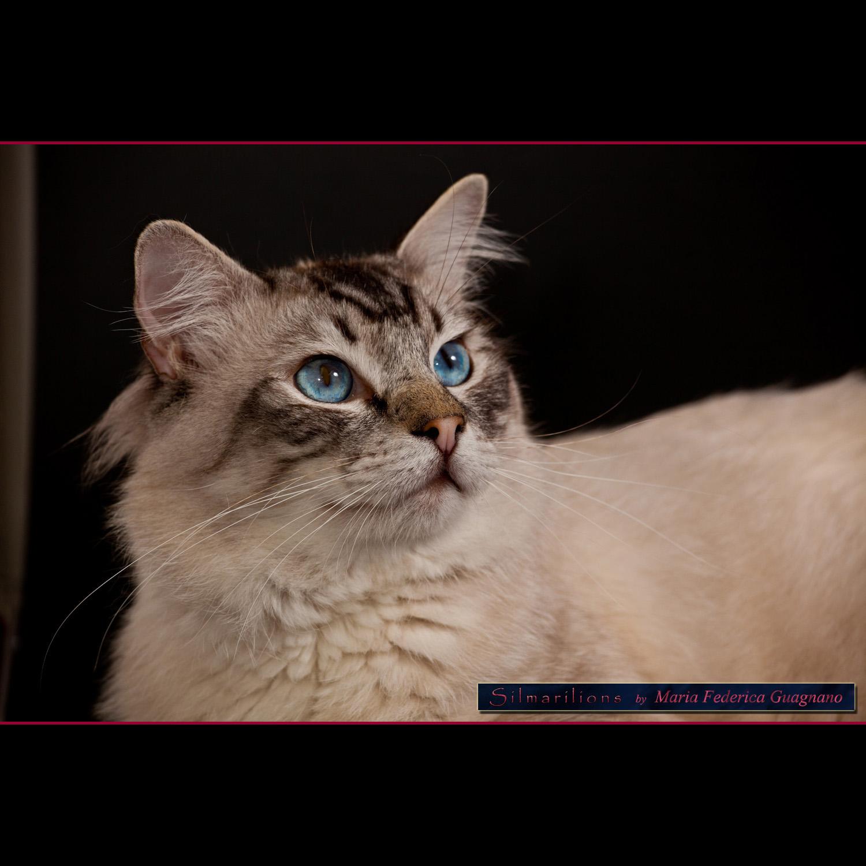 Ragdoll, una delle razze feline più adatte alla vita in famiglia