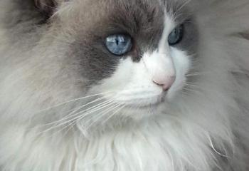 Narlin, femmina blue bicolore nata nel 2003 - Maria Teresa Petti