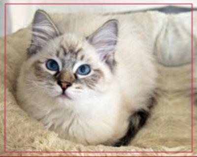 la-casa-ideale-per-il-gatto-ragdoll