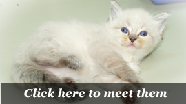Ragdoll | Available kittens